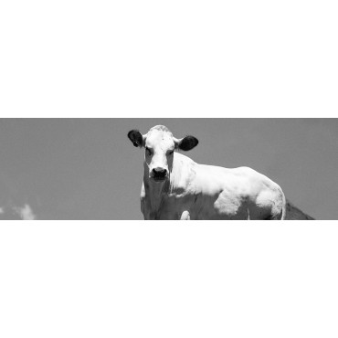 L'allevamento della razza bovina piemontese